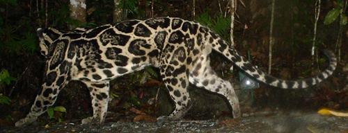 这一神秘的大型猫科动物